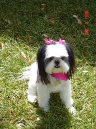 Pictures of Shih Tzu