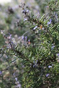 Rosemary in October