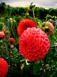 Wow!  These Dahlias...