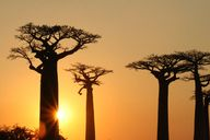 Baobabs at sunset, K