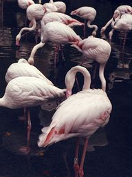 Powder pink flamingo