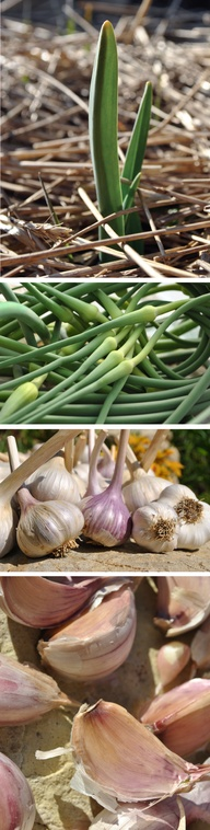 GROW GARLIC! From th