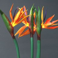 Bird of Paradise Lig