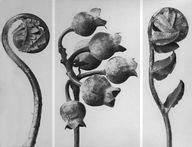 Karl Blossfeldt commence à étudier la sculpture en 1881. Il devient mouleur dans une fonderie. Dès cette époque, il utilise des feuilles darbre…