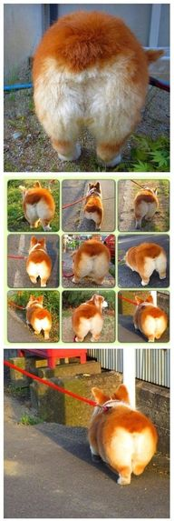 Corgi Butts Drive Me