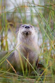 River otters: Hardes