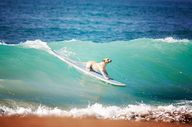 dog surfing very coo