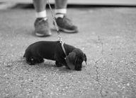 dachsund puppy serio