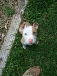 So Cute! Pittbull pu