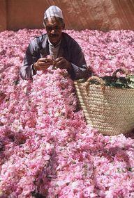 Damask roses, Morocco