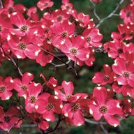Red Dogwood Tree