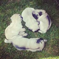 Pug Puppies Napping