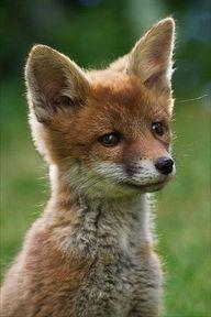 Red Fox Cub by Alann