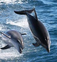 Dolphins near Sydney