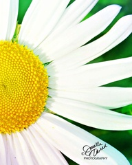 Decor - Daisy - 8x10