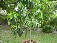 Fruit in containers on pinterest fig tree tropical fruits and fruit