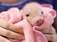 Love my piglets!