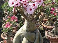 Rosa do Deserto(Adeniun Obesum)