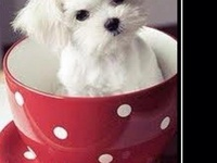 "My ""Elle"" the Maltese & Friends"