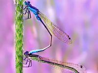 Dragonflies o libélulas, mis favoritas desde la película Bernardo y Bianca.