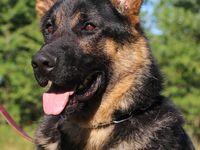 German Shepherd Dogs For Sale Kraftwerk K9 Breeds Champions Black German Shepherd Puppies Black German Shepherd Black German Shepard