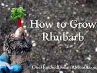 Growing Rhubarb & asparagus