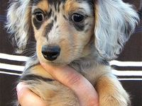 Dachshunds  / Doxies