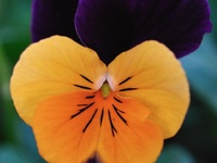 Violas, Violets and Pansies