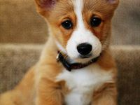 A love of everything Pembroke Welsh Corgi