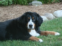 The Bernese Mountain Dog is one of the four ancient Swiss Sennenhunds, developed when the invading Romans bred their mastiffs to local flock-guarding dogs, and is the only one with a full coat. Refined in the Berne region, dogs of this breed were routinely used for multiple jobs. These included: general farm worker; flock guardian; and draft dog. The breed is characterized by the classic, striking Sennenhund tri-coloring (black ground color, with rust and white markings).