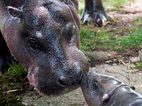 Animals Hippo / Hippopotamus / Nijlpaard