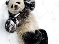 Panda bears! Just so cute!