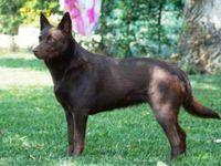 Australian Kelpie Australian Dog Breeds Dog Breeds Dog Breeds Pictures
