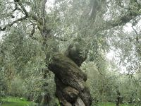 66 Best Images About Trees Flowers On Pinterest Vineyard Israel And Green Grapes