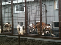 8 Best Images About Amish Puppy Mills Really On