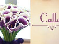 A Calla é originária da África do Sul e é conhecida como Copo de Leite. Seu nome cientifico é Zantesdeschia aethiopica Spreng.  Sua folhagem é verde brilhante e muito ornamental. As flores das Callas são firmes, duráveis, grandes e com colorações variadas.