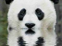 Quiero un panda!!!