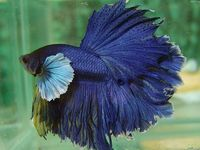 1000 Images About Beta Beauty On Pinterest Betta Fish Tank Auction And Small Fish Tanks