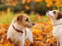 Long Haired Jack Russell Terrier Puppies For Sale In Kent Google