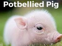 games to play with a potbellied pig