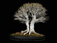 Bonsai - Great art or tortured trees?