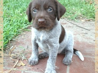 160 German Wirehaired Pointers- mostly ideas | german ...