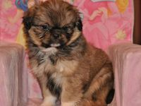 10 Weeks Old Shih Tzu Pictures Shih Tzu X Pekingese Peke A Tzu Puppy 10 Weeks Old For Sale In Puppies Pekingese Pekingese Puppies