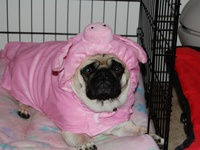 8 Best Images About Pug Or Pig On Pinterest Toy Dogs