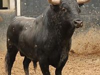 A COLLECTION OF A NUMBER OF BREEDS OF CATTLE ... BULLS IN PARTICULAR.THESE MASSIVE ANIMALS DEMAND YOUR RESPECT