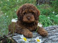 I love cute labradoodle puppies! They're simply cute and adorable! Here's my collection of most beautiful and cutest labrodoodle puppies and dogs picture.