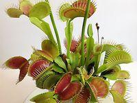 venus flytrap  dewdrop etc
