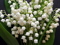 garden of lily-of-the-valley