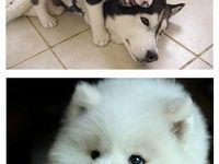 Pin On Siberian Husky Puppies