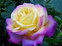 Hybrid tea roses /  Hybrid tea roses